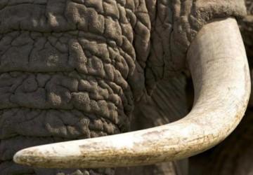ivoire,défense,CITES,législation,