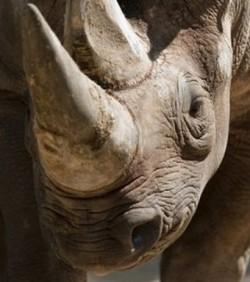 Rhinocéros,défense,corne,législation,CITES