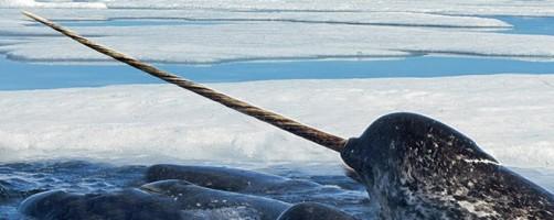 Narval,CITES,législation,matières protégées,ivoire marin,dent de narval,